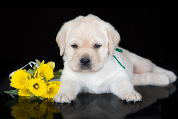 labrador puppy with daffodils