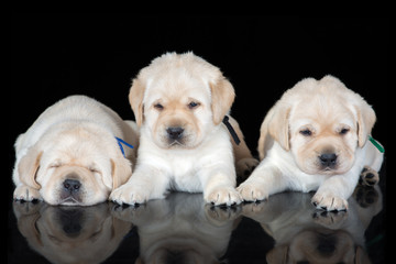 three labrador retriever puppies on black