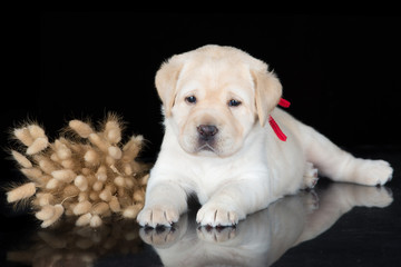 yellow labrador retriever puppy on black