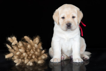 labrador retriever puppy on black