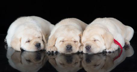three yellow labrador puppies sleeping