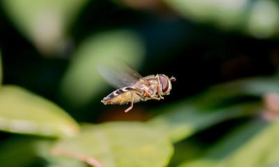 insetto volante