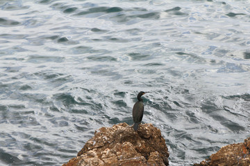 Cormorant on stony coast. Palma-de-Majorca, Spain