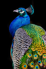 peacock on dark background
