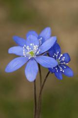 Leberbluemchen; Hepatica; nobilis;