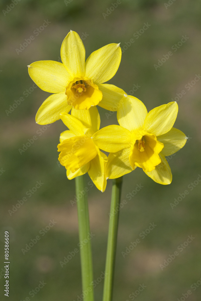 fotobehang narzisse tete a tete narcissus osterglocke foto4art. Black Bedroom Furniture Sets. Home Design Ideas