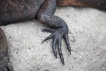 Claw iguana
