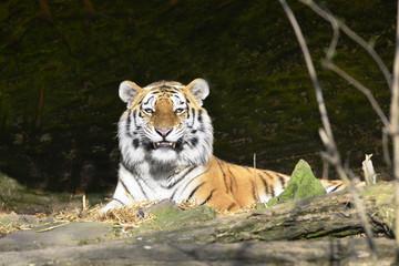 Lächelnder Tiger