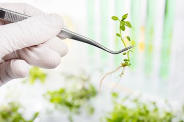 Genetically modified plants. Plant seedlings growing inside of t