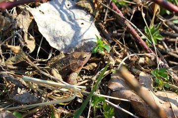 Moorfrosch (Weibchen) im Gebüsch auf dem Boden