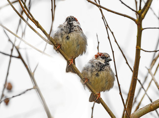 sparows on a branch