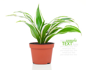 Dracaena fragrans (cornstalk dracaena) isolated on a white backg