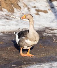 goose winter nature