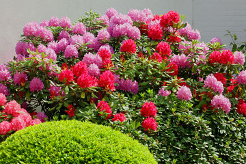 RhododendronBuchsbaum