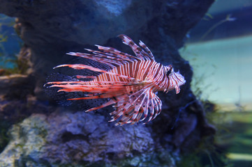 Poisonous fish Zebra