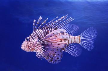 Marine poisonous fish lionfish