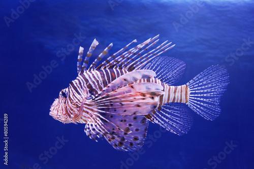 Foto op Plexiglas Zebra Marine poisonous fish lionfish