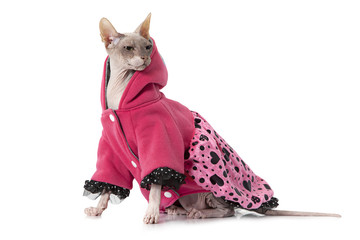 Don Sphinx cat dressed with jacket in front of white background