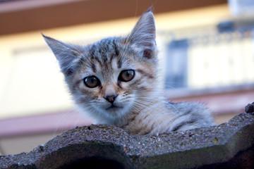 Cucciolo di Gatto