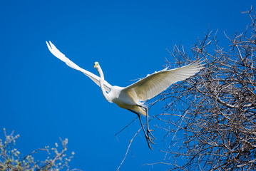 Giant Egret in Flight