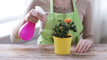 close up of woman hands spraying roses in pot