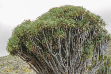 Drago tree in the Canary Islands