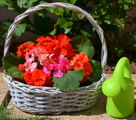 Colorful geranium flowers in a basket.