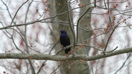 Common Grackle Looking to the Right