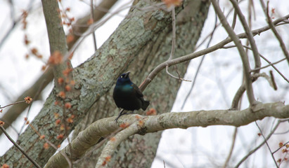 Chirping Grackle Looking to the Left