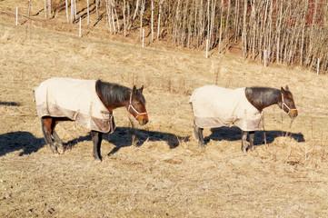 Norwegian horse in clothes