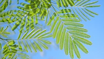 Light green leaves of Climbing Wattle tree, Acacia pennata