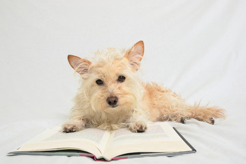 Terrier with paws on open book looking down at book