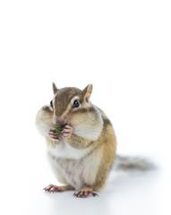 ペットフードを食べるシマリス