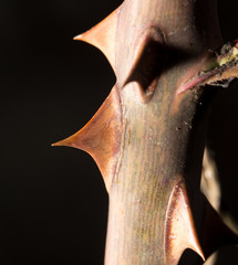 thorns on a branch plant