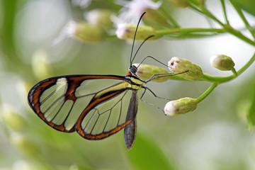 Borboleta Episcada hymenaea