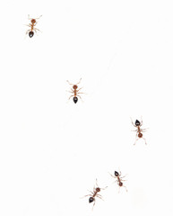ants on a white wall. close-up