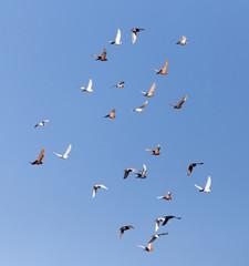 Dove in flight against blue sky
