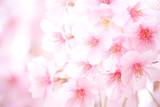 桜 - 80611830