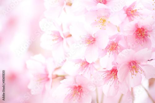 Fotobehang Kersen 桜