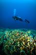 diver above coral bunaken sulawesi indonesia underwater photo - 80614279