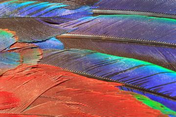 Scarlet Macaw feather (Ara macao) close up