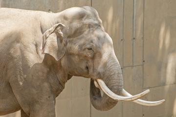 Male Asian elephant
