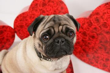 Mops mit roten Herzen