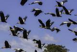 Ibis aves