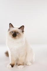 Birman cat sitting on white background