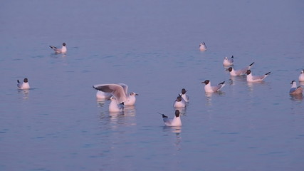 Several Seagulls Swim and Eat in a Calm Sea Water at Sunset