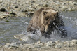 Grizzly bear catching fish in water.