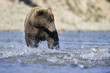 Grizzly bear fishing in water.