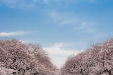 桜並木と青空
