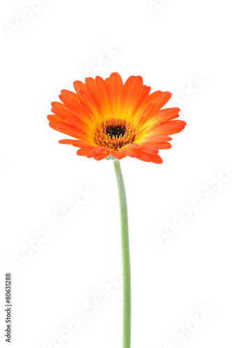 Papiers peints Gerbera Orange gerbera . Gerbera jamesonii.